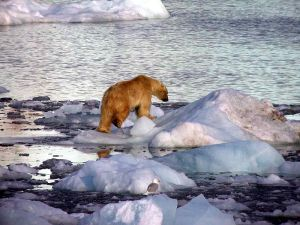800px-Polar_Bear_on_Ice