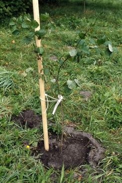 Plumspinney träd_2
